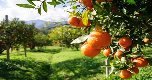 Sorrento is famous for its citrus fruit